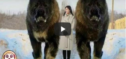 Top 10 cani più grandi del mondo - in questo tutorial mostreremo la top di 10 cani più strani del mondo, che non avete mai visto ma che esistono davvero.