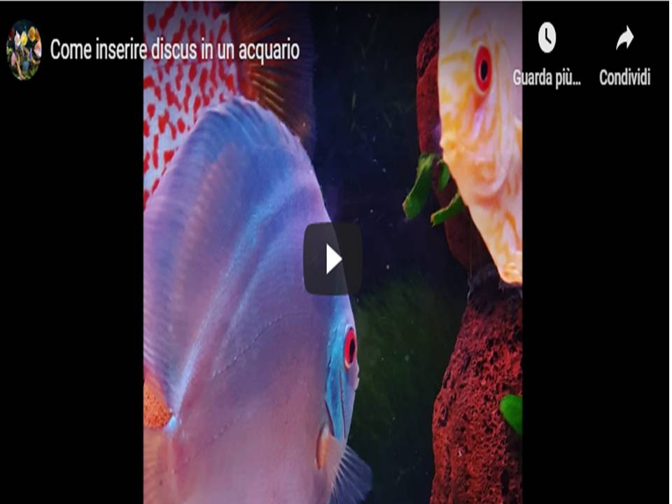 Come inserire Discus in un acquario